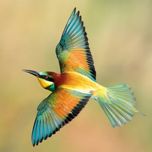 ep-bee-eater-350